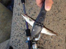 深日漁港でエギング、濁りもましで釣りやすくなりました