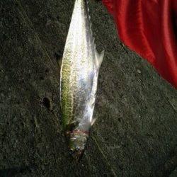 武庫川尻一文字 1時間ほどの釣行でサゴシ2尾 ショアジギング釣果