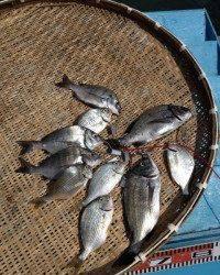 マリーナシティ海釣り公園で紀州釣り〜チヌ&キビレ〜