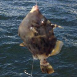兵庫突堤、胴突きでカワハギの釣果