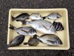 マリーナシティで紀州釣り、イイサイズが釣れました★