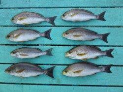神谷漁港 カゴ釣りでイサギ のませでシオなどの釣果