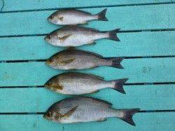 ヒラバエ カゴ釣りでイサギ〜34cm5匹