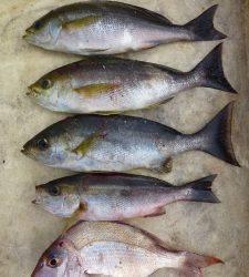 神谷沖一文字外向き、カゴ釣りでイサキの釣果