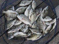 宮崎沖カセ、チヌ大漁です♪