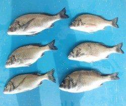 日引イカダで良型のチヌ含む6枚の釣果