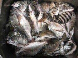 久美浜のカセ チヌの数釣り楽しめます