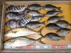 三尾の磯 カゴ釣りでもヒラマサの釣果あり