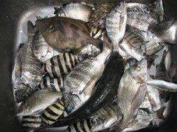 宮崎沖カセでチヌ数釣り、良型もあがっています