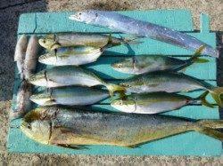 ツバスにシイラに太刀魚、アオリ 沖一文字外向き