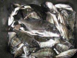 久美浜のカセ チヌ〜39cmの釣果