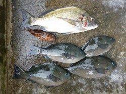 フカセ釣りでグレ・チヌ 〜湯浅の磯〜