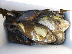 湯浅の磯でフカセ釣り、アイゴ37cm〜