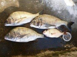湯浅の磯での紀州釣り チヌ良型が3枚!