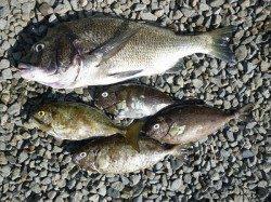 フカセで49cmの良型チヌ・アイゴの釣果 in 湯浅の磯