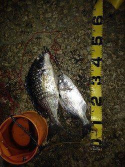 武庫川でウナギ釣り〜今年はキビレ多いのかよく当たります