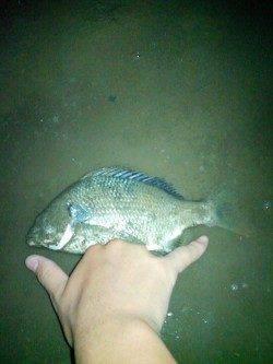 淀川でシラサをエサにウキ釣り〜ハゼとキビレが釣れました