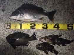 イシゴカイのウキ釣りでキビレ・グレ・ガシラがヒット in南芦屋浜