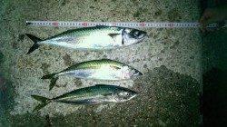 大蔵海岸ウキ釣りで2匹、引き釣りで1匹のサバ〜まだまだ狙えます!