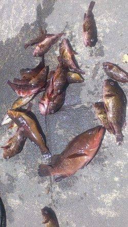新浜漁港で投げ釣り・探り釣り なんとアコウが釣れました!