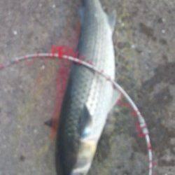 須磨でダンゴ釣り、ボラに悩まされました…
