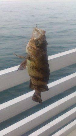 新浜漁港アナゴ・クジメ・ガシラなど多彩な釣果で楽しめました