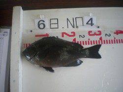 姫路市立遊漁センター タコ2.4kgやグレ30cmの釣果