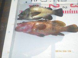 姫路市立遊漁センター 探り釣りでアコウ・メバル