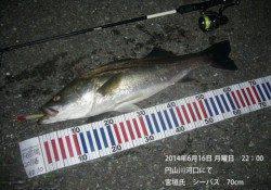 円山川河口にてシーバス70cm