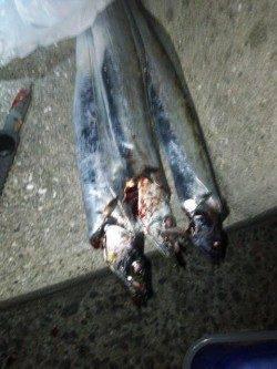 洲本にてルアーで太刀魚を狙いました!!