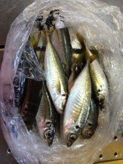 和歌山北港 カゴ釣りでウマヅラ・アジ・アイゴの釣果