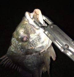 淀川河口周辺チニング〜キビレ42cmが釣れました