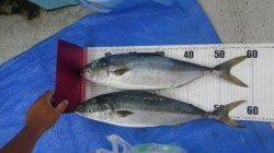日置の地磯 ルアーでハマチ2本の釣果