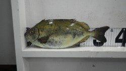 天神崎のフカセ釣りでアイゴ34cmにヘダイなどの釣果