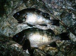 竹野でメバリング〜渋い釣行の中で貴重なメバル2匹♪