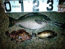 竹野港 メバリング釣行でメバルの他グレの33cmも