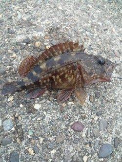 高砂港 探り釣りでガシラ・メバル〜ズシっとくるアタリでハリス切れも