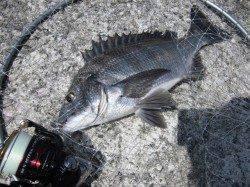 岸和田一文字 沖の北へグレ狙いで釣行〜銀ピカチヌにも出会えました