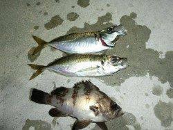 舞洲周辺でアジ調査釣行〜アジも徐々に開幕でしょうか