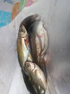 中波止でエビ撒き釣り ハネ&キビレ