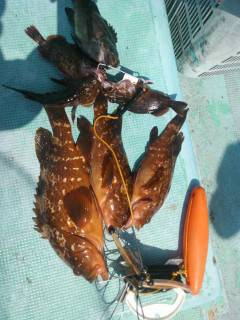 沖の1番でアコウがよく釣れています!