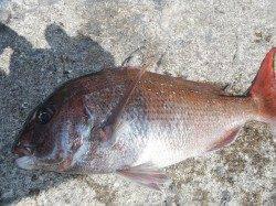 北港釣り公園 カゴ釣りでグレ&マダイの釣果