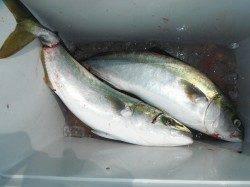 北港魚つり公園 のませ釣りでハマチ55cm&50cm