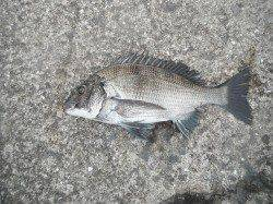【4日】北港魚つり公園の釣果〜メジロ75cm・ほかチヌも