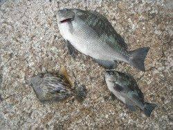 北港釣り公園 グレ・カワハギ・小アジの釣果
