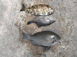 北港魚つり公園でグレ・アイゴ・ウマヅラ