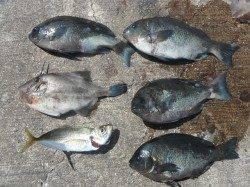 北港釣り公園  カゴ釣りでグレなどの釣果