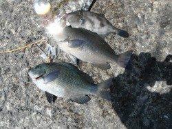 和歌山北港魚つり公園 カゴ釣りでグレ・ウマヅラハギ