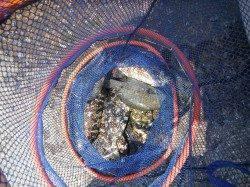 和歌山北港魚つり公園 グレとアイゴの釣果