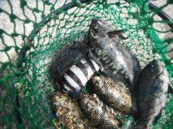 北港魚つり公園 カゴ釣りでグレ・アイゴ・サンバソウなど